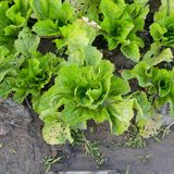 Agricultural industry. Growing salad lettuce on field Royalty Free Stock Photography