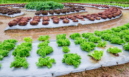 Agricultural industry. Growing vegetable on field. Young Green and red Lettuce grown in the mulch plastic film. (mulching Stock Photo