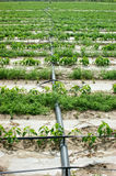 Agricultural irrigation Royalty Free Stock Photography