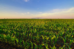 Agricultural irrigation system watering corn field in summer Royalty Free Stock Photography