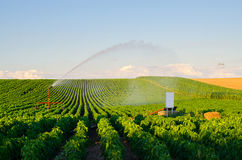Agricultural irrigation system watering field of paprika in summer Stock Photo