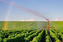 Agricultural irrigation system watering field of paprika on sunn Royalty Free Stock Images