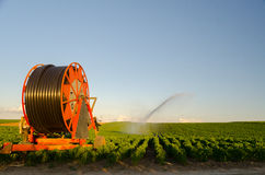 Agricultural irrigation system watering field of paprika on sunn Royalty Free Stock Photo