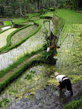 Agricultural labourer on the rice field Stock Photos