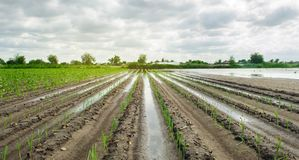 Agricultural land affected by flooding. Flooded field. The consequences of rain. Agriculture and farming. Natural disaster and. Crop loss risks. Leek and pepper stock photography