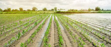 Agricultural land affected by flooding. Flooded field. The consequences of rain. Agriculture and farming. Natural disaster and. Crop loss risks. Ukraine Kherson royalty free stock photography