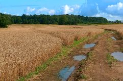 Agricultural land, fields planted with wheat, wet dirt road with puddles in the field. Wet dirt road with puddles in the field, agricultural land, fields planted Royalty Free Stock Images