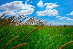 Agricultural land, pastures. Juicy grass on a blue sky with white clouds. Scene of Agriculture. Selective focus royalty free stock photo