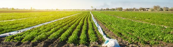 Agricultural land with potato plantations. Growing organic vegetables in the field. Vegetable rows. Agriculture. Farming. Selective focus royalty free stock photography