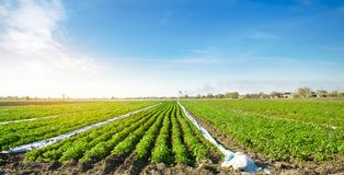 Agricultural land with potato plantations. Growing organic vegetables in the field. Vegetable rows. Agriculture. Farming. royalty free stock photo