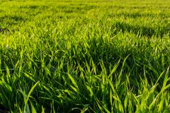 Agricultural landsaple, arable crop field.  Royalty Free Stock Image