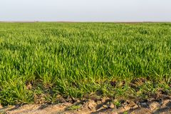 Agricultural landsaple, arable crop field.  Stock Photos