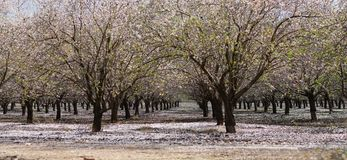 Blooming garden with fruit trees. Agricultural landscape, blooming garden with fruit trees royalty free stock photo