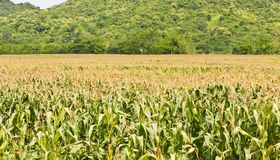 Agricultural landscape of corn Stock Photography