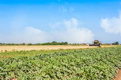 Field of zucchini and wheat field with thresher at work. Royalty Free Stock Photos
