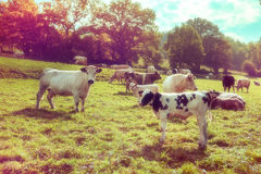 Agricultural landscape with herd of cows. Agricultural backgroun Stock Photos