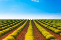 Agricultural landscape of lavender fields Stock Image