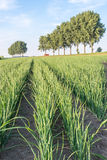 Agricultural landscape with onion cultivation Stock Photography