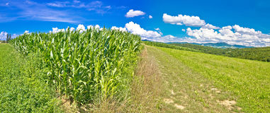 Agricultural landscape panorama in Prigorje region. Corn field and green meadow on pictoresque hill, Croatia Royalty Free Stock Image