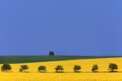 Agricultural landscape. Rapeseed fields and rowan trees. Royalty Free Stock Photo