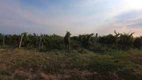 Agricultural landscape with rows of grape trunks, trucking. Agricultural landscape with rows of grape trunks, bunches of ripe white vine berries and grassy lanes stock video footage