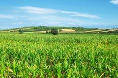 Agricultural Landscape In Serbia. Corn field near Kursumlija, Serbia stock photo