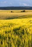 Agricultural Landscape of South Moravia. Grain fields of South Moravia in summer evening, Tišnov, South Moravian Region, Czech Republic Royalty Free Stock Image