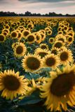 Agricultural landscape with sunflowers field royalty free stock photography