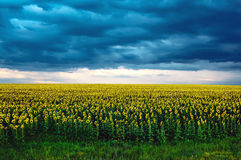 Agricultural landscape with sunflowers field and storm clouds on sunset Stock Image