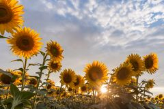 Agricultural landscape with sunflowers. Majestic agricultural landscape, farming view with sunflowers field and beautiful sky Royalty Free Stock Images