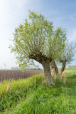 Agricultural landscape with three pollard willows. Picturesque landscape with three old willow trees with budding young leaves against a blue sky in springtime Royalty Free Stock Photography