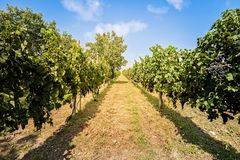 Landscape with vineyard and bleu sky with clouds. Royalty Free Stock Photos