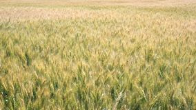 Agricultural landscape - wheat field at summer windy day stock footage