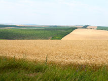 Agricultural landscape - wheatfield and gardens Stock Photos