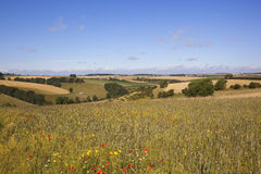 Agricultural landscape with wildflowers Royalty Free Stock Images