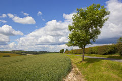 Agricultural landscape with young ash tree Stock Photos