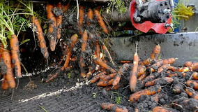 Agricultural machinery to transport raw carrots stock video footage