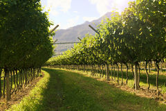 Agricultural nature for Prosecco wineries. In Italy royalty free stock photography
