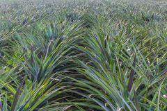 Agricultural of pineapple field Royalty Free Stock Image