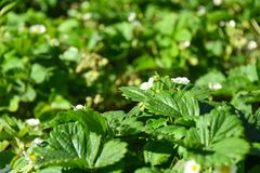 Agricultural plant in the field. Young saplings of strawberries with flowers royalty free stock photos