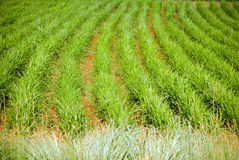Agricultural Plantation Crop Detail. Image of agricultural farmland plantation crop detail Royalty Free Stock Image