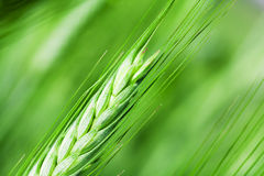 Agricultural plants Royalty Free Stock Images