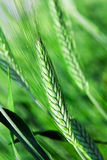 Agricultural plants. Ear green (unripe) wheat, photographed close up (macro Stock Images