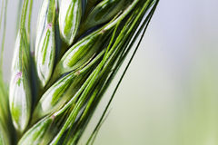 Agricultural plants. Ear green (unripe) wheat, photographed close up (macro Royalty Free Stock Images