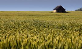 Agricultural plants (field). The old house constructed in a field, where the ears wheat grow Stock Photography