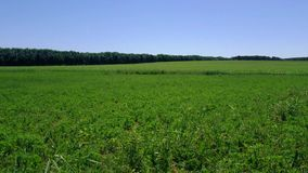 Agricultural plants in the field. Farm farming stock video