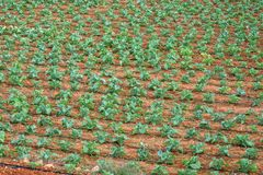 Agricultural plants in rows. With watering pipes. field with crops growing. View from above, arial view. Horizontal stock photos