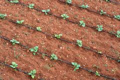 Agricultural plants in rows. With watering pipes. field with crops growing. View from above, arial view. Horizontaln royalty free stock image
