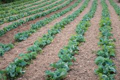 Agricultural Cauliflower plants in rows. Agricultural plants in rows. Field with crops growing. View from above, upper view. Cauliflower and Cabbage Crops field royalty free stock photos