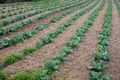 Agricultural plants in rows. Field with crops growing. View from above, upper view. Cauliflower and Cabbage Crops field. soil. Plantation. Horizontal royalty free stock images